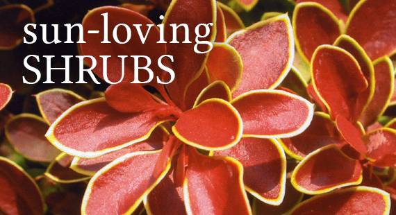 Sun-loving Shrubs