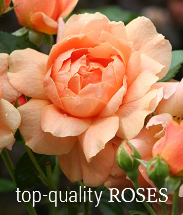 High-Quality Roses