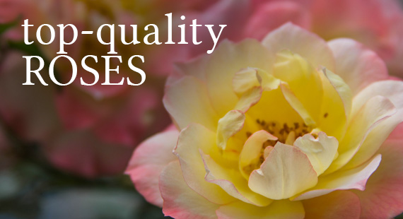 Top-Quality Roses