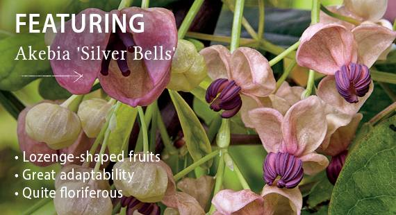 Featuring Akebia 'Silver Bells'