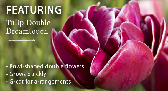 Featuring Tulip Double Dreamtouch