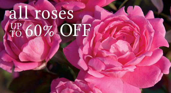 All Roses Up To 60% Off