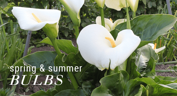 Spring and Summer Bulbs