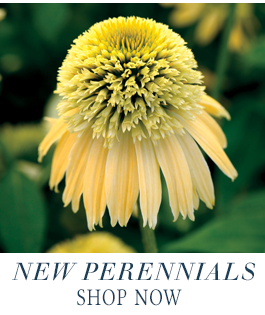Shop New Perennials