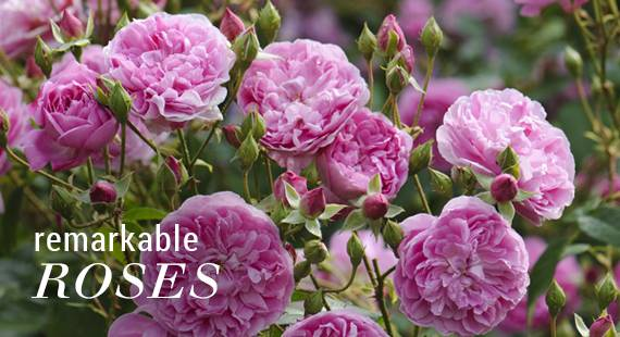 Remarkable Roses