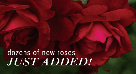 Dozens of New Roses Just Added!