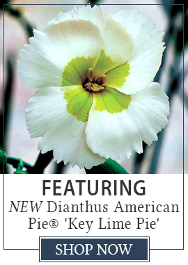 Featuring Dianthus American Pie Key Lime Pie