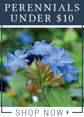 Perennials Under $10
