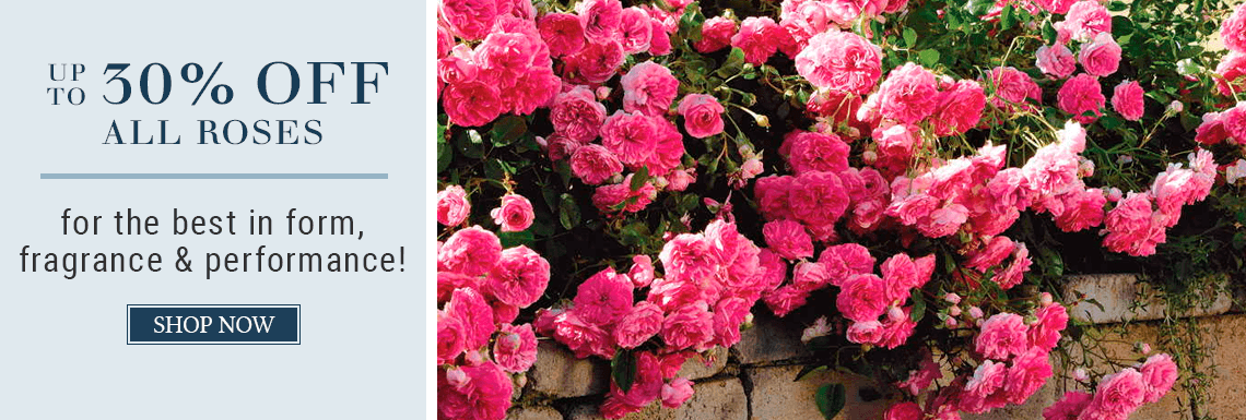 All Roses Up to 30% Off