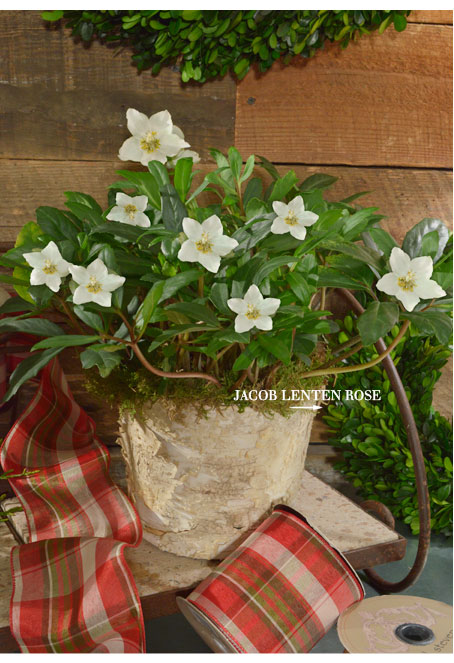 Jacob Lenten Rose