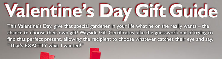 Valentine's Day Gift Guide. This Valentine's Day, give that special gardener in your life what he or she really wants - the chance to choose their own gift! Wayside Gift Certificates take the guesswork out of trying to find that perfect present, allowing the recipient to choose whatever catches their eye and say, That's EXACTLY what I wanted!