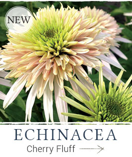 Shop Echinacea Cone-Fections™ Cherry Fluff