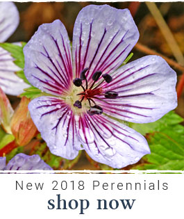 Shop New 2018 Perennials
