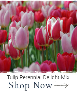 Shop Tulip Perennial Delight Mix