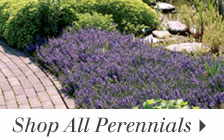 Shop from a large selection of Perennial Plants