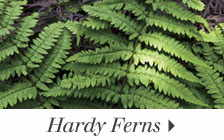 Add interest and texture to your garden with easy-care ferns