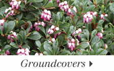 Easy-to-grow Groundcovers