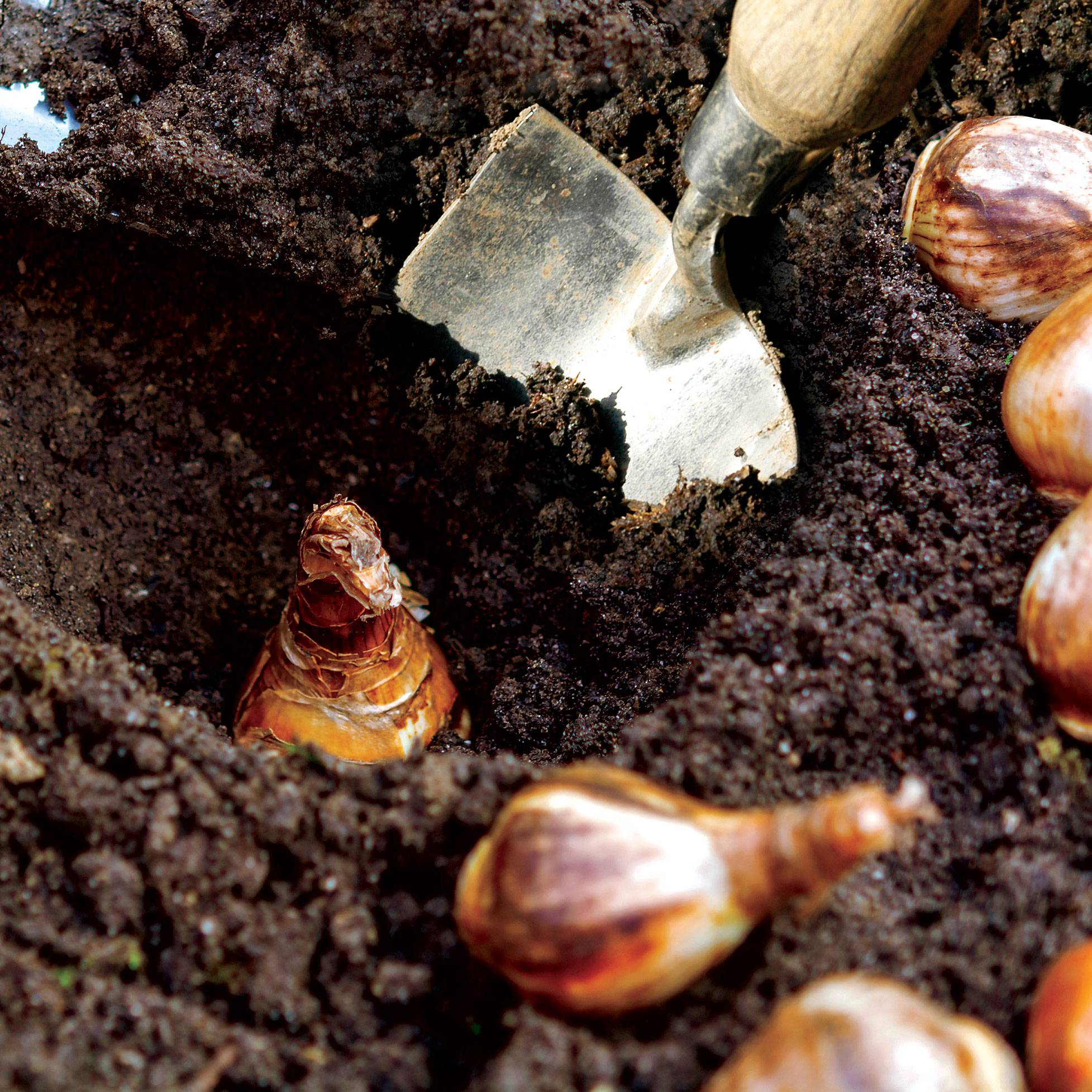 Planting and Care Instructions for Bulbs