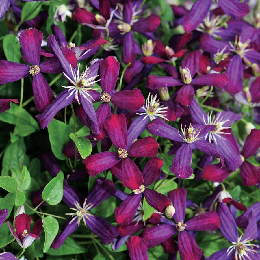 Clematis Vines types of vines