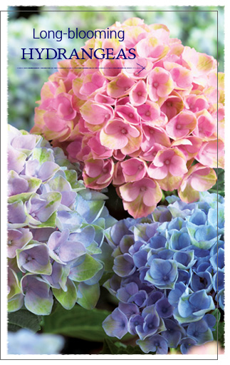 Long-Blooming Hydrangeas button