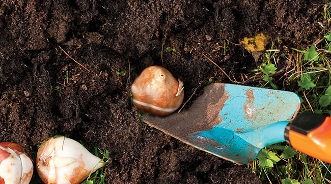 Planting Bulbs in Dirt with Trowel
