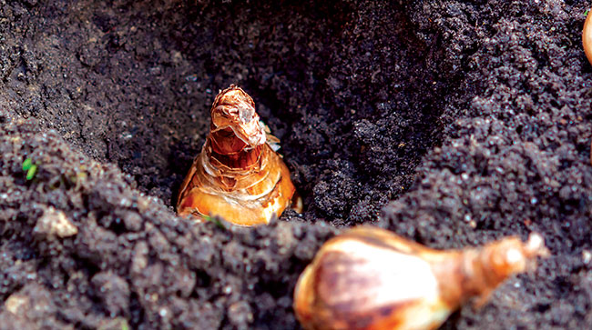 Planting Bulbs in Dirt
