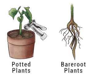Potted bareroot plant
