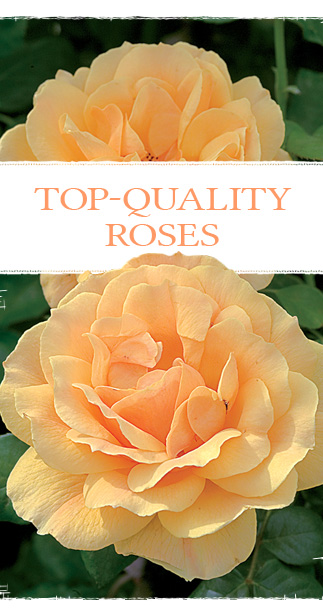 Top-Quality Roses button