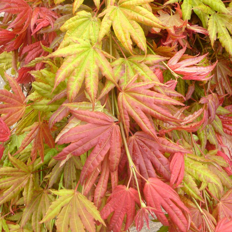 How to care for a fern leaf japanese maple - Few Plants Can Equal The Beauty And Command Of A Japanese Maple In The Autumn Landscape As A Solitary Specimen It Is Breathtaking Its Fall Foliage