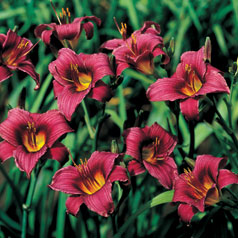 Hemerocallis Grape Magic