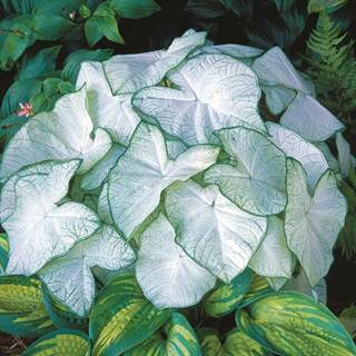 Caladium Moonlight