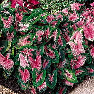 Caladium Carolyn Whorton