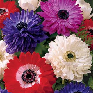 St. Brigid Double Mix Windflower - Pack of 10Image