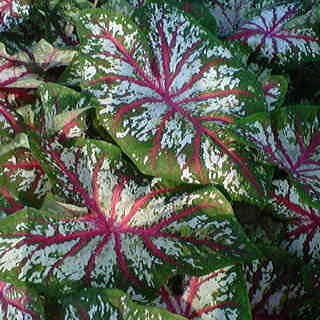Caladium Tapestry - Pack of 5 Bulbs