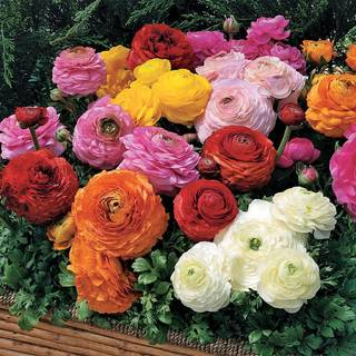 Ranunculus Collection