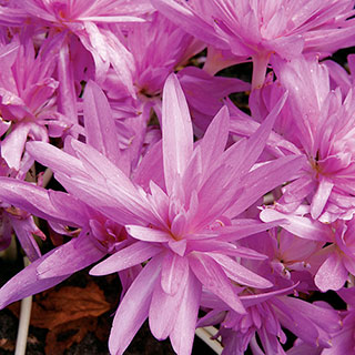 Colchicum Waterlily