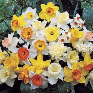 Narcissus Top-of-the-Line Mix