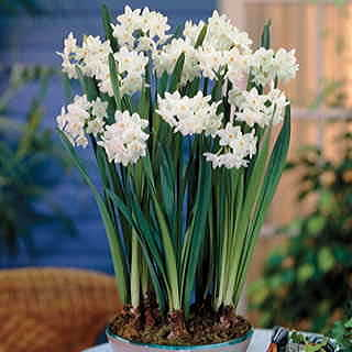 Narcissus Paperwhite - Pack of 5Image