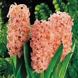 Hyacinth Gypsy Queen - Pack of 5
