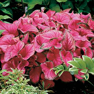Caladium Sweetheart