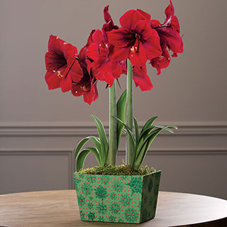 Winter Welcome Amaryllis Gift