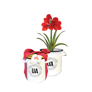 Red Amaryllis Grow Kit