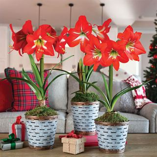 Deck the Halls Amaryllis - Triple