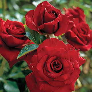 Black Magic™ Hybrid Tea Rose