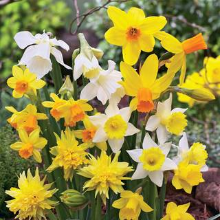 Narcissus Daffodil Garden Box CollectionImage