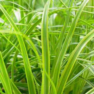 Carex Evercolor® Everlime