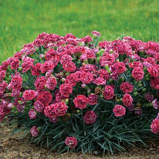 Dianthus Fruit Punch® Cherry Vanilla