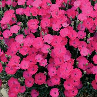 Dianthus 'Paint the Town Magenta' Image