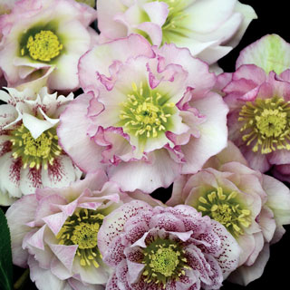 Helleborus Wedding Party® Flower Girl
