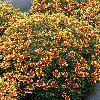 Coreopsis Honeybunch Red & Gold